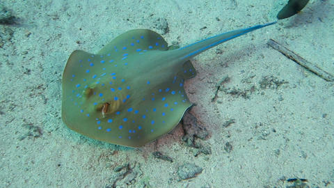 Bluespotted stingray hunting Live Action
