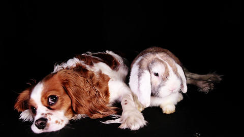 Animals together rabbit dog loves each other pet love bunny puppy spaniel and Footage