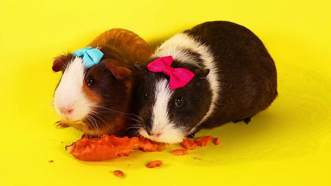 Guinea pig cavy guinea pigs cavies animal pet animals pets funny cute Live Action