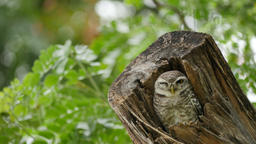 Spotted owlet on tree Footage