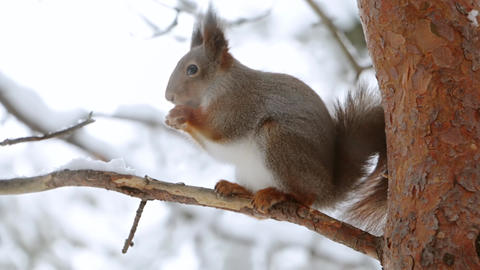 Squirrel Eats a Nut on a Pine Branch GIF