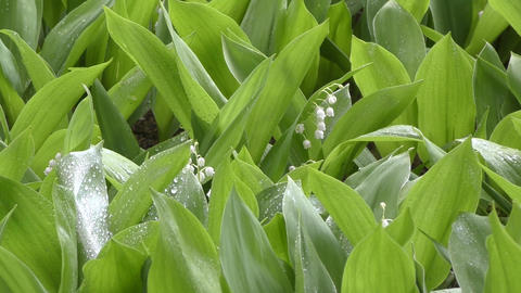 Lily of the valley after the rain Footage