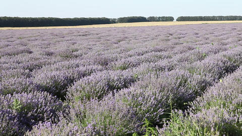 Lavender field Footage