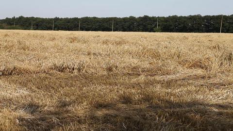 Dry Grass in Fields Footage