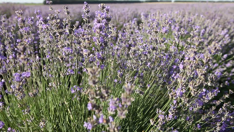Lavender field Live Action