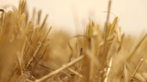 Dry Grass in Fields Footage