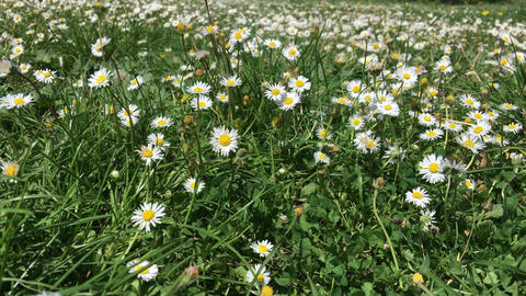 Field of Daisy Flowers, Tuscany Footage