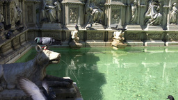 Pigeons drinking in Piazza del Campo fountain, Siena Footage