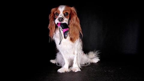 Dog shoe shoes. Cute puppy dog holding pet shoe Live Action