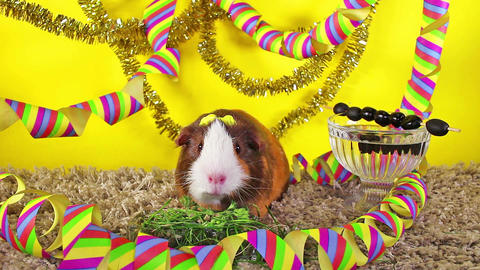 New year's eve happy new year animal concept. Guinea pig cavy Footage