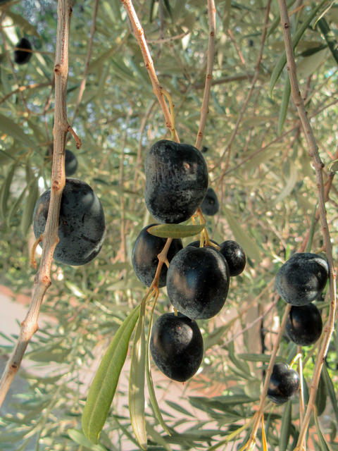 Huge olives on the tree - a close-up Photo