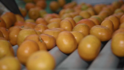 Tangerines Moving on a Conveyor Belt in a Refinery Factory Stock Video Footage