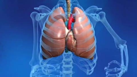 Human Heart Model Live Action