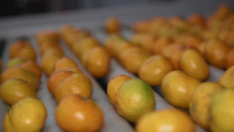 Tangerines moving on a conveyor belt Stock Video Footage