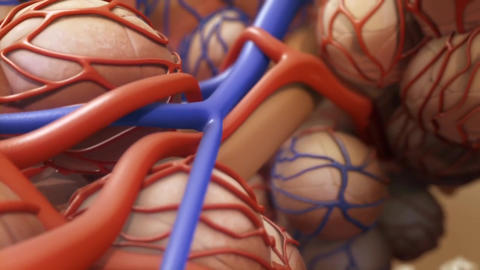 Alveoli In Lungs - Blood Saturating By Oxygen Live Action