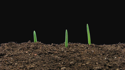 Time-lapse of growing onion sprouts with ALPHA channel Archivo
