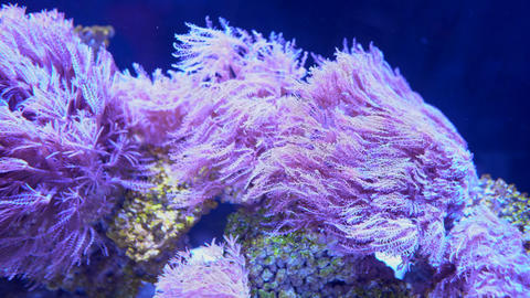 Pink seaweed vibrate in the aquarium water, marine life close-up Footage