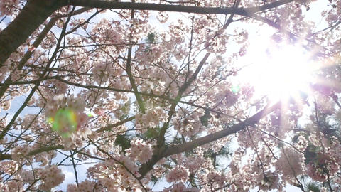 cherry blossom and flare Footage
