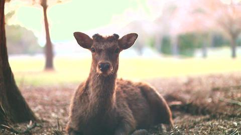 Deer 2 stock footage