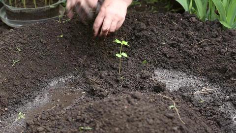 Woman planting seedlings of flowers Footage