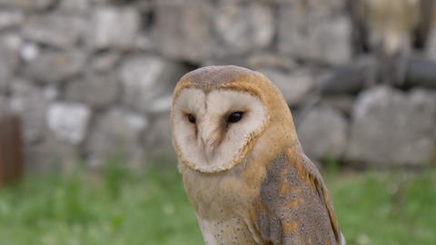 Barn Owl Footage