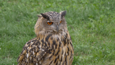 Eagle Owl Footage