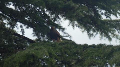 Harris Hawk Branch Fly Live Action