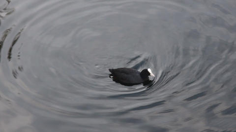 coot close-up in Strasbourg in France Live Action