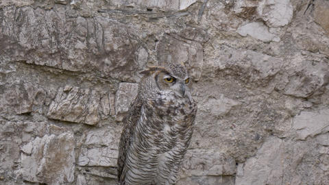Horned Owl Footage