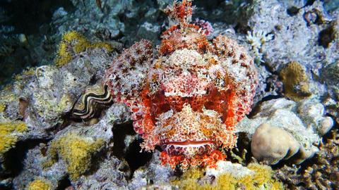 Venomous scorpion fish Footage