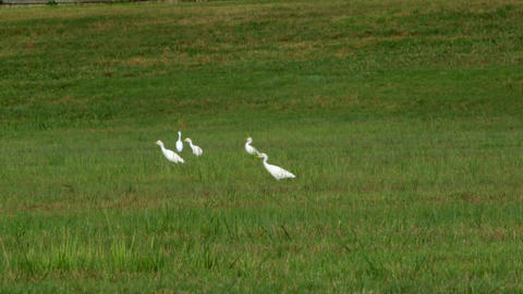 cattle egret birds in south Texas eating bugs Footage