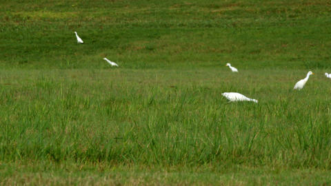 pan right cattle egret birds in south Texas eating bugs Footage