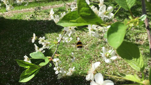 Bumblebee. Blooming cherry Footage