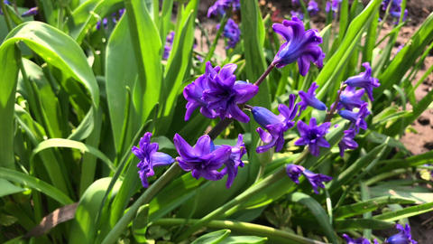 blooming blue hyacinth in the garden on a summer sunny afternoon Archivo