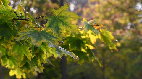 maple branch with green leaves GIF