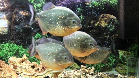 lot of swimming fish piranha swims Archivo