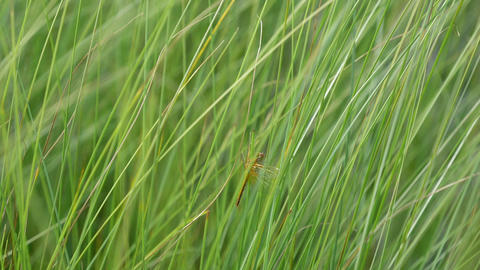 Yellow-winged darter dragonfly staying on a sedge ビデオ