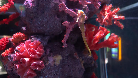 Amazing seahorse at the tropical corals, close-up Live Action