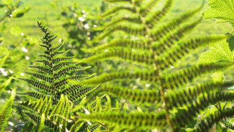 Lady fern leaves with sporangiums Footage