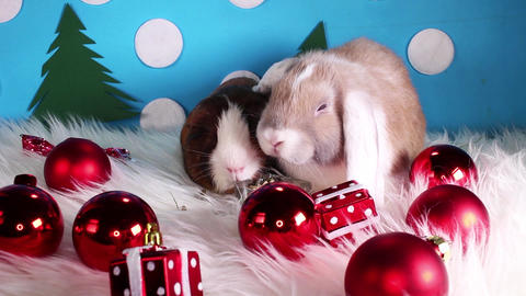 Christmas bauble red ball animal pet lop cute cavy love loving concept Live Action