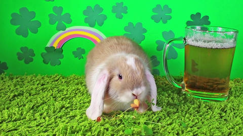 St patricks day animal pet concept luck clover beer rabbit animals pets decor Live Action