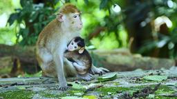 Monkey breast-feeding Live Action
