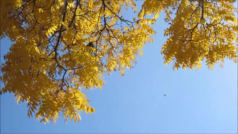 Yellow tree leaves under clear sky Footage