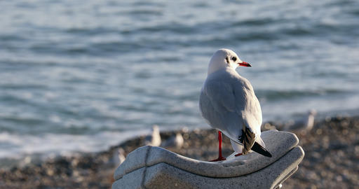 Seagull Bird Looking Out Over A Glistening Sea Footage