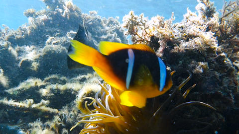 Clownfish living in their sea anemone Live Action