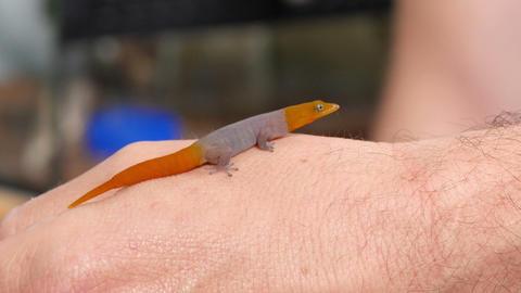 Sphaerodactylus Torrei Gecko Reptile Closeup Footage