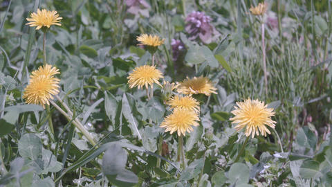 Dandelion Flowers,at Showa Memorial Park,Tokyo,Japan,Filmed in 4K Footage