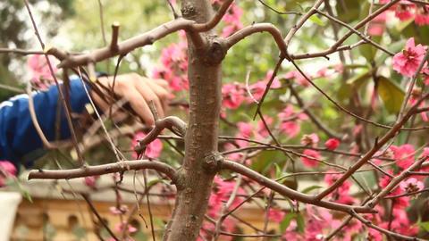 gardener pruning peach blossom Footage