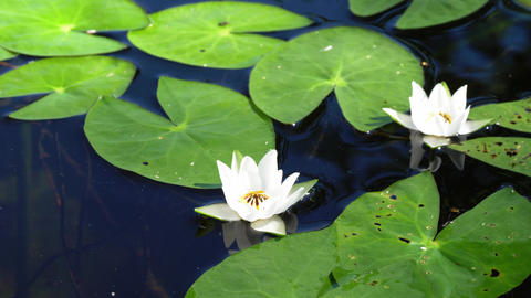 White floating flowers of Finnish water-lily Live Action