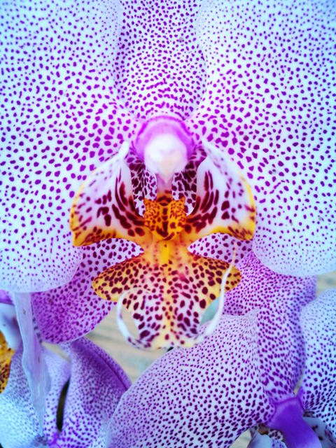 Phalaenopsis white orchid with massive petals and bright pink spots フォト